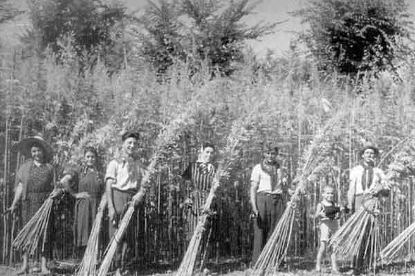 hemp-fields-cut